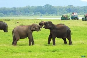 elephant_minneriya